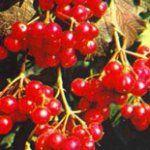Калина ягода лікувальні властивості