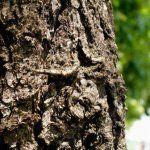 Лікувальні властивості кори дуба