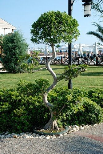 Криве дерево, сколіоз