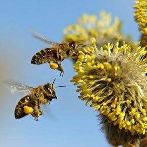 Бджолиний пилок і перга. Корисні властивості і особливості цих продуктів